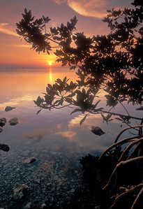 Sunset and Red Mangrove in Florida Bay