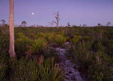 Moonrise in xeric oak scrub at Archbold Biological Station, Lake Placid, FL