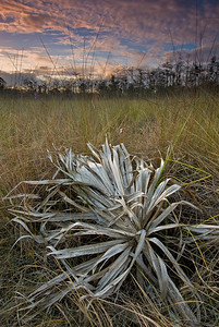 Cabbage Palm frond and sawgrass, Big Cypress National Preserve