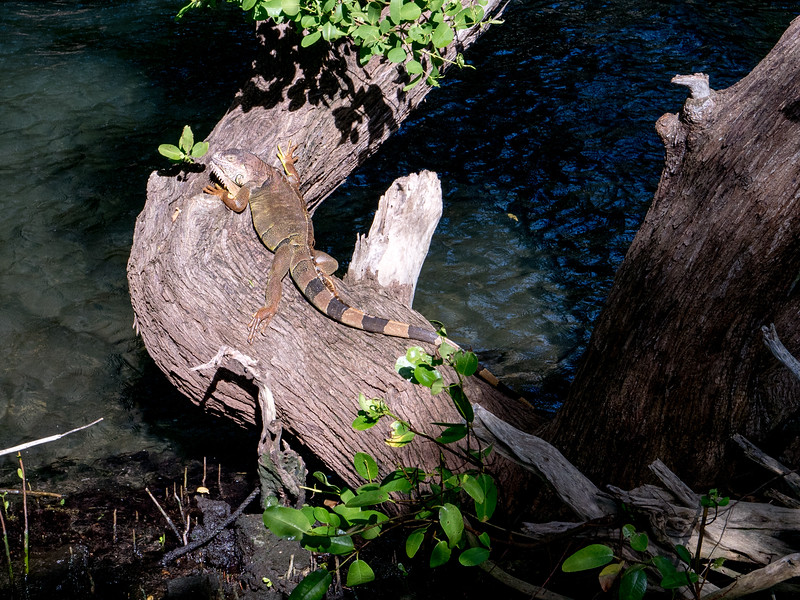 Iguana in a tree above the water