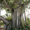 Banyon tree in the spectacular gardens