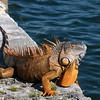 Massive iguana along the waterfront