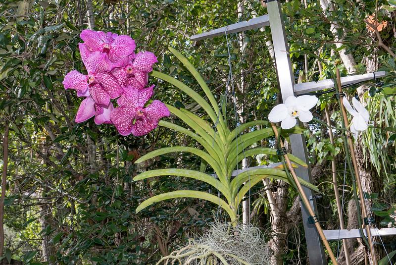 Orchid garden - Vanda