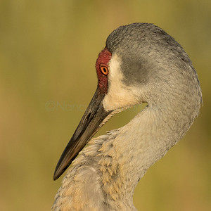 Shy Sandhill Crane