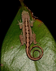 Brown anole (Anolis sagrei) - some of these are diamond backed