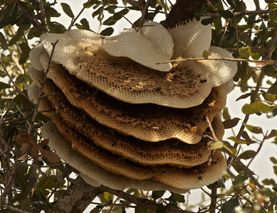 Bee Honeycombs hanging high in a tree