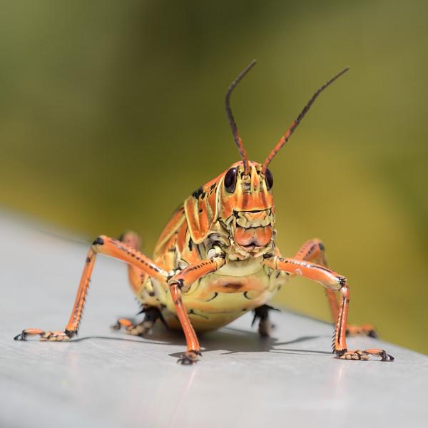 Lubber Grasshopper-9331-2