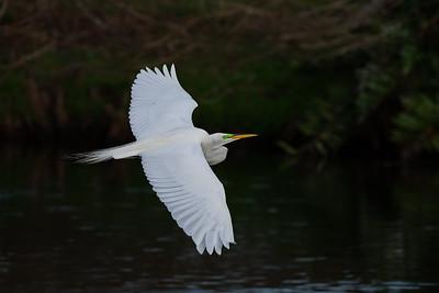 Egret in Flight-6134