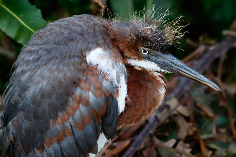 Tricolored Heron Chicks-