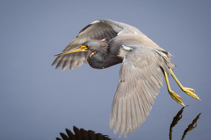 Blue Heron-