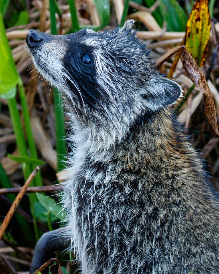 Racoon Browsing-2188