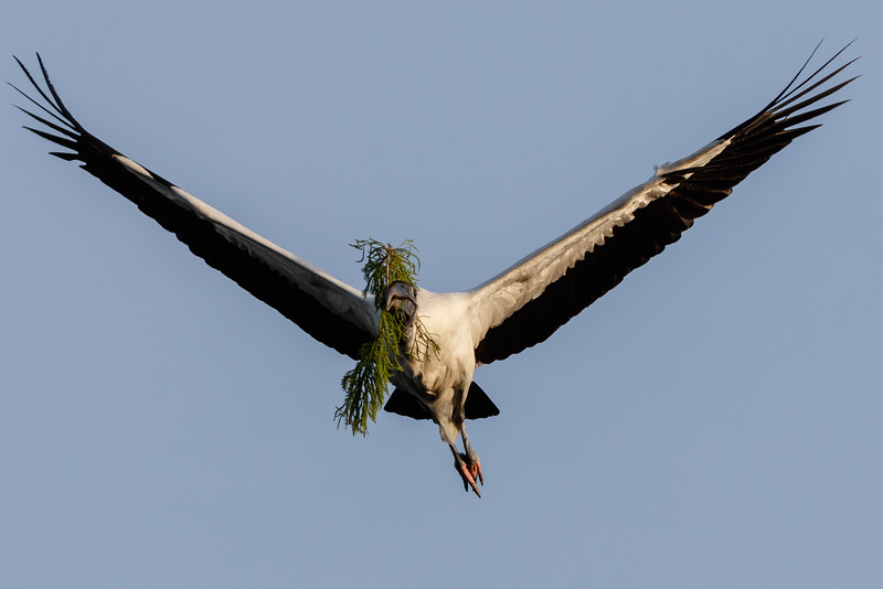 Wood Stork Nest Building-0301