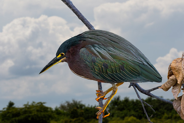 Little Green Heron-