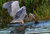 Great Blue Heron Hunting-9058