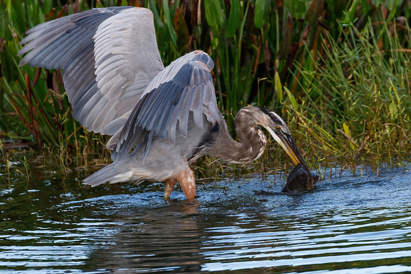 Great Blue Heron Hunting-9058