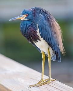 Tri-Colored Heron-