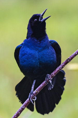 Boattailed Grackle--4