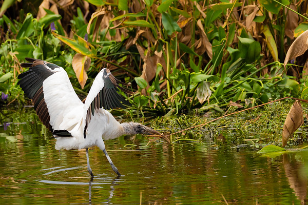 Wood Stork in a Tug of War-6732