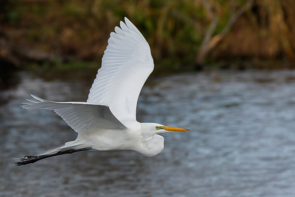 Great Egret-7252