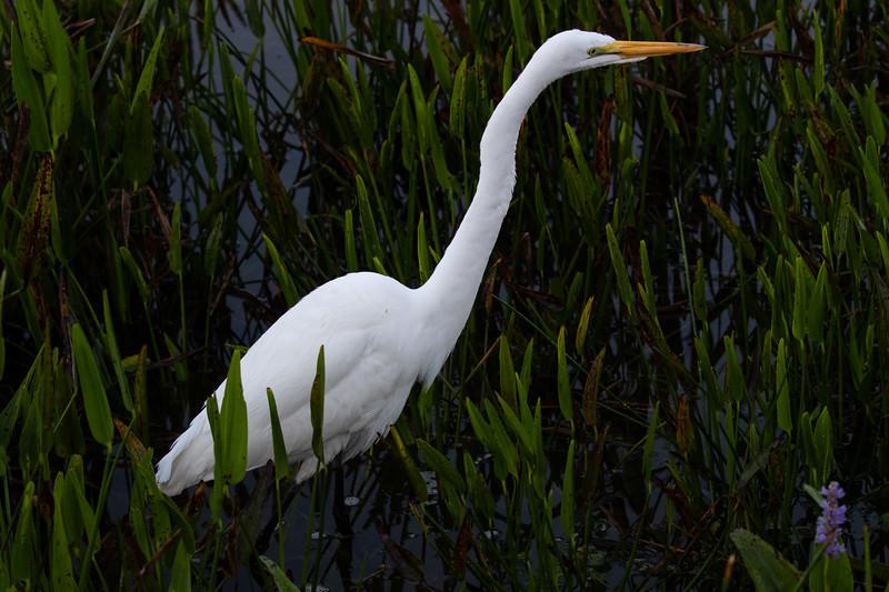 Egret Hunting-6379