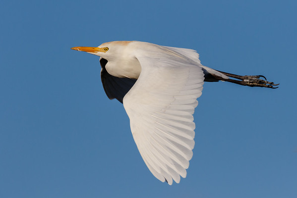 Cattle Egret-4188