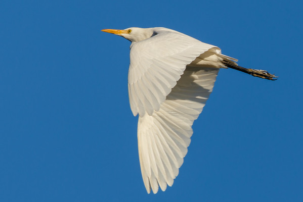 Flying Egret-6394