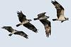 Four shot composite of an Osprey in flight