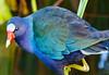 purple gallinule-0879