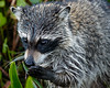 Racoon Browsing-2173