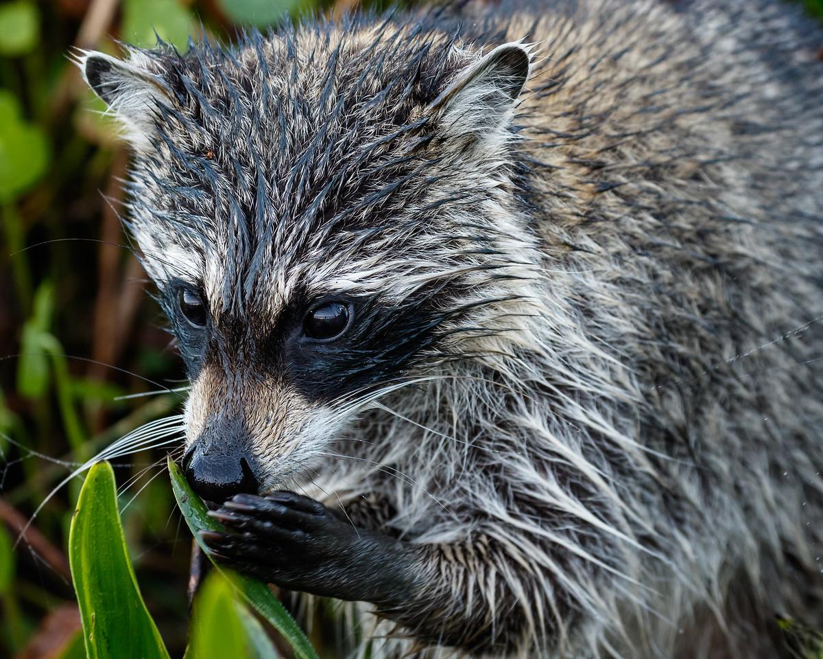 Racoon Browsing-2173