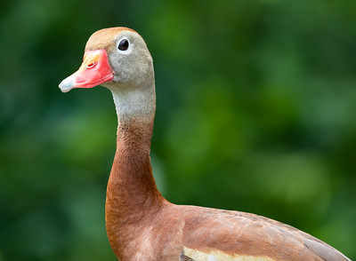 Black Bellied Whistling Duck-6756