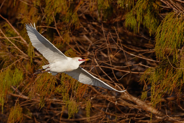 Cattle Egret Flying-8325