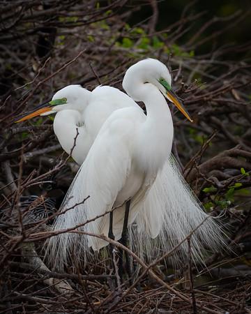 Swooning Egrets-5802