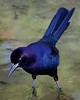 Boattailed Grackle Wading-9873