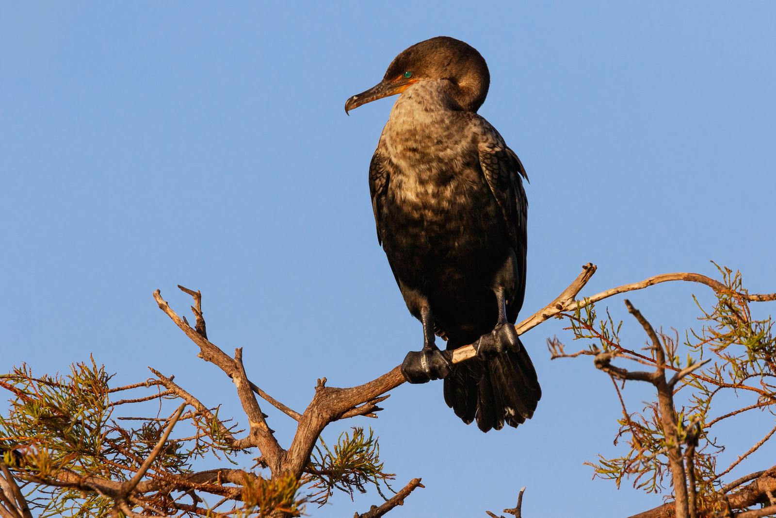 Perching Cormorant-