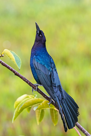 Boattailed Grackle-