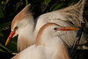 Cattle Egret Pair