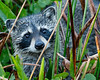 Racoon Browsing-2169
