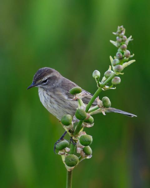Perching Warbler-2298