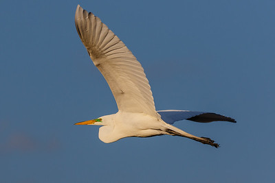 Egret Flying-Evening Light6873
