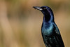 Boatailed Grackle-9972