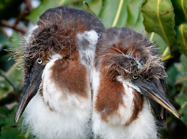 Tricolored Heron Chicks-2
