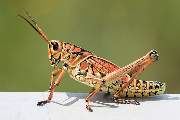 Lubber Grasshopper-9245-Edit