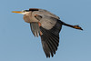 Great Blue Heron-1716