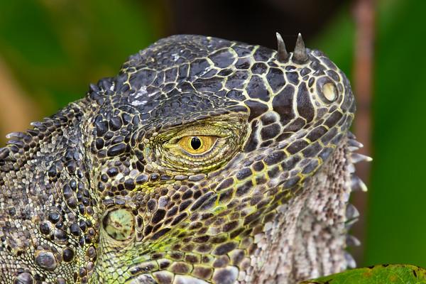 Iguana-4369