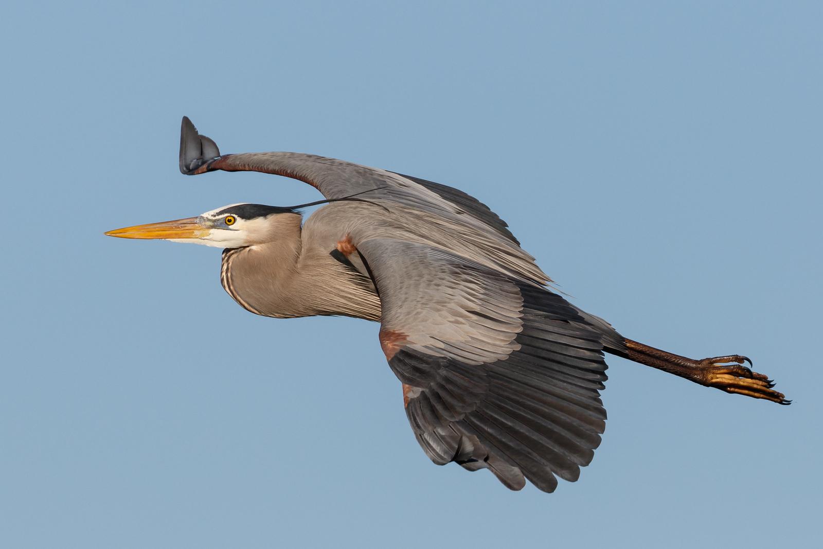 Great Blue Heron-1711