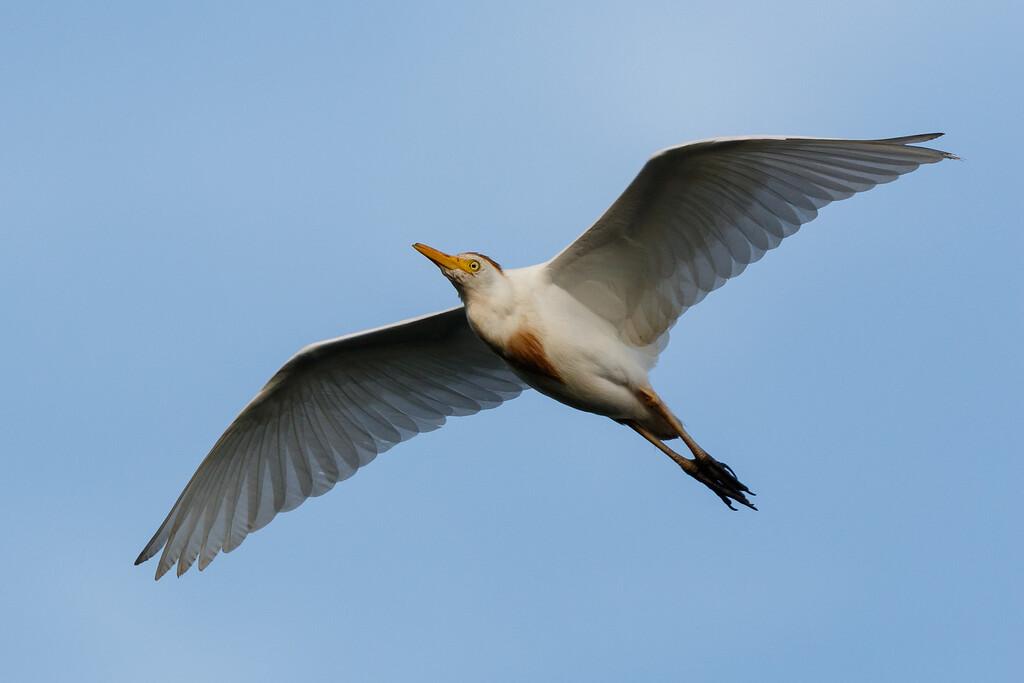 Cattle Egret-8222