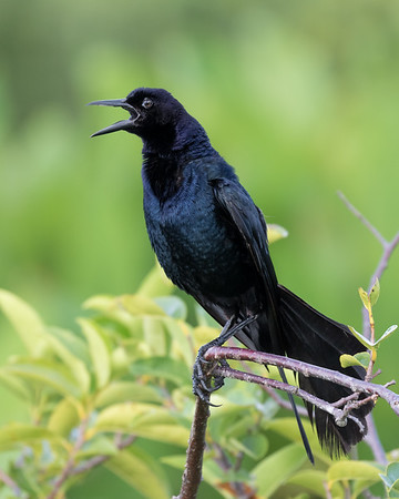 Boat Tailed Grackle-8564