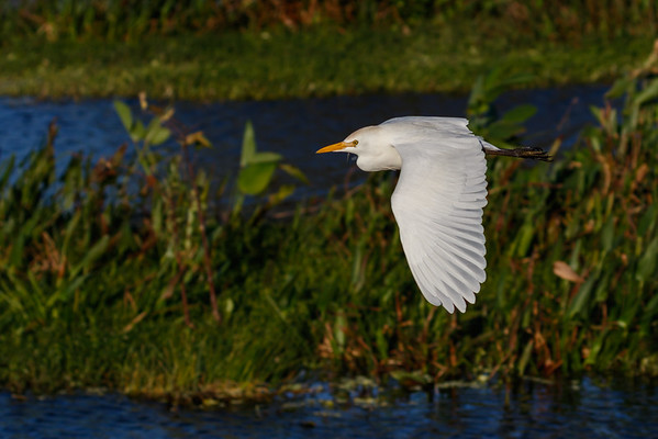 Cattle Egret-4226