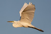 Great White Egret in Flight-